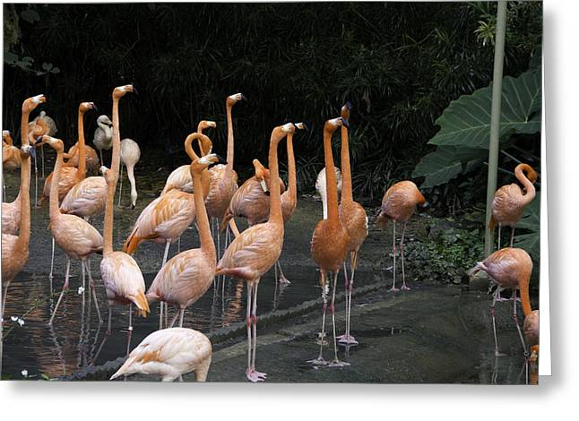 Flamingoes Inside The Jurong Bird Park In Singapore Greeting Card by Ashish Agarwal