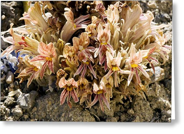 Flat-top Broomrape (orobanche Corymbosa) Greeting Card
