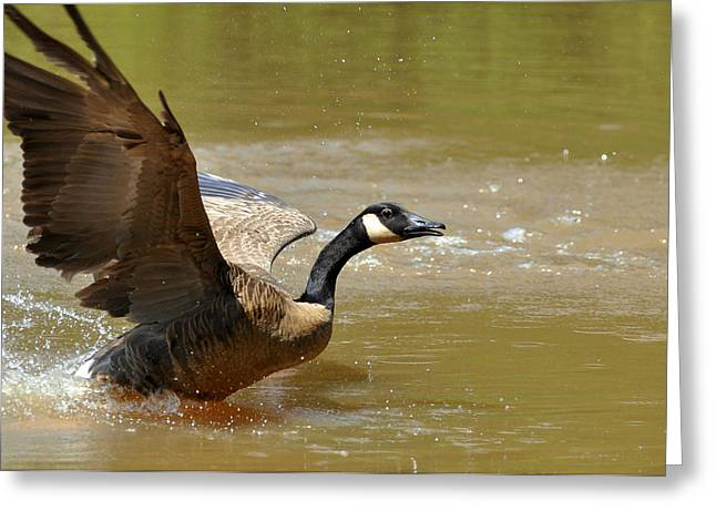 Fleeing Canada Goose - C5438b Greeting Card by Paul Lyndon Phillips