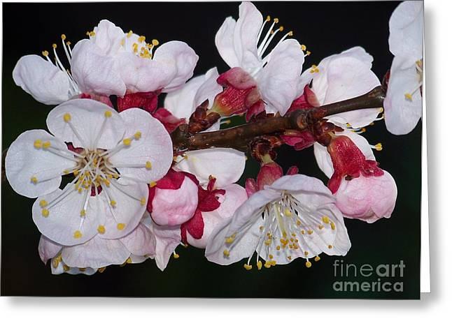 Fleurs D'abricotier Greeting Card
