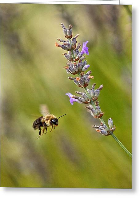 Flight Of The Bumble Greeting Card by Karol Livote