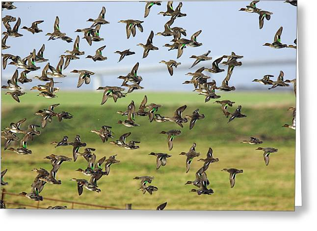 Flock Of Common Teal Greeting Card by Duncan Shaw