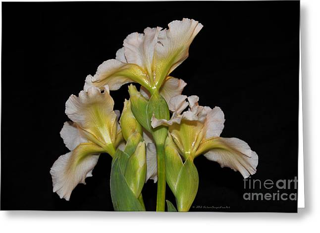Floral White Iris Buds Flower Bouquet Greeting Card