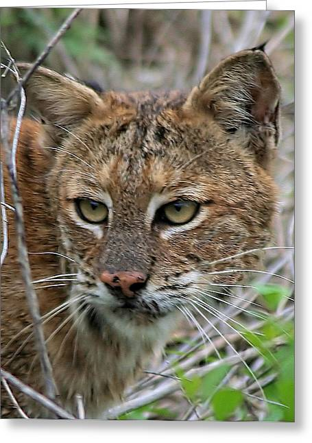 Florida Bobcat Greeting Card