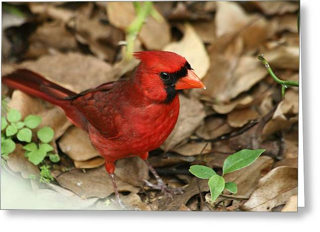 Florida Cardinal Greeting Card