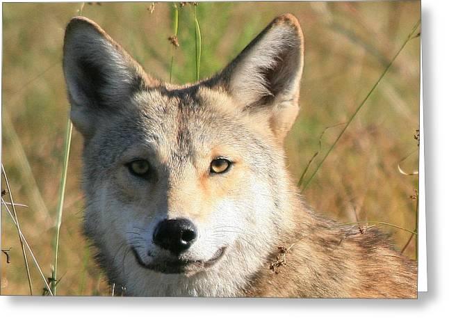 Florida Coyote Portrait  Greeting Card