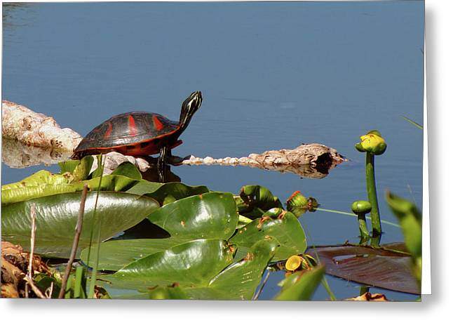 Florida Redbelly Turtle Greeting Card by Peg Urban