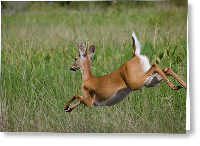 Florida White Tail Greeting Card