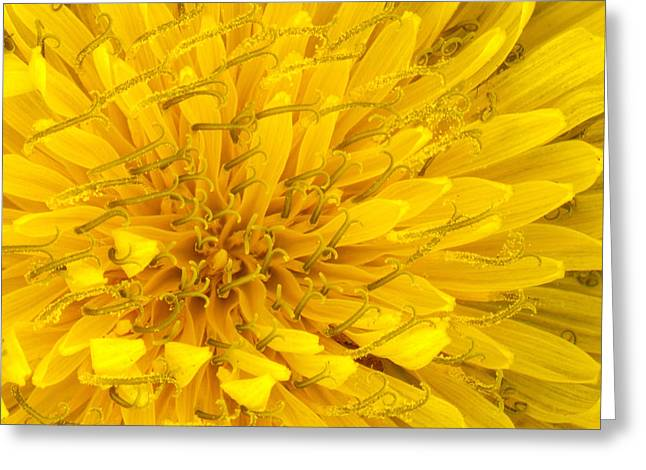 Flower - Dandelion Greeting Card