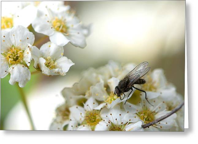 Flower Fly Greeting Card by Michael Wilcox