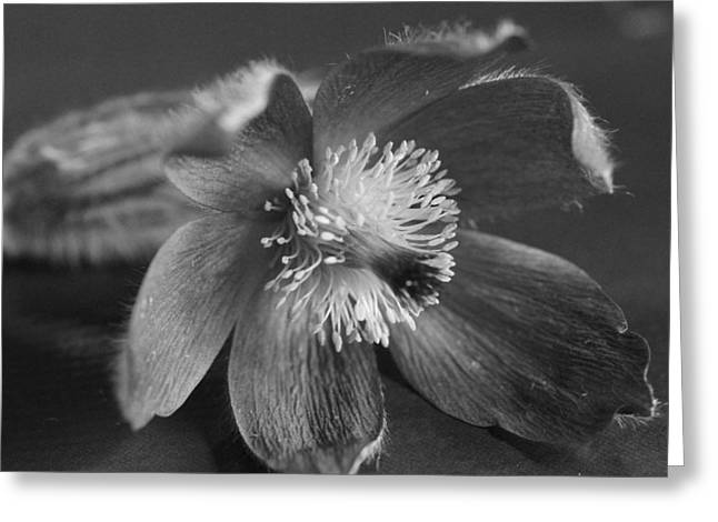 Flower In Black And White Greeting Card by Mark J Seefeldt