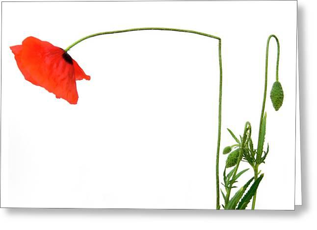 Flower Poppy In Studio. Papaver Rhoeas. Greeting Card