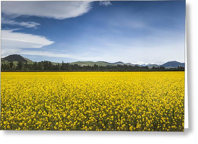 Flowering Mustard Crop In Canterbury Greeting Card by Colin Monteath