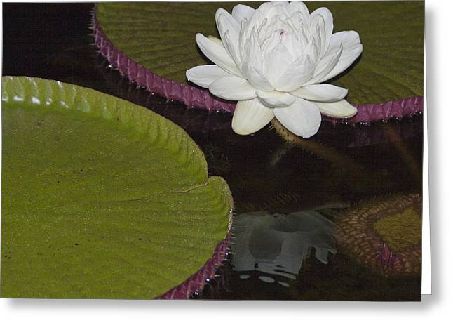 Victoria Amazonica White Flower Greeting Card