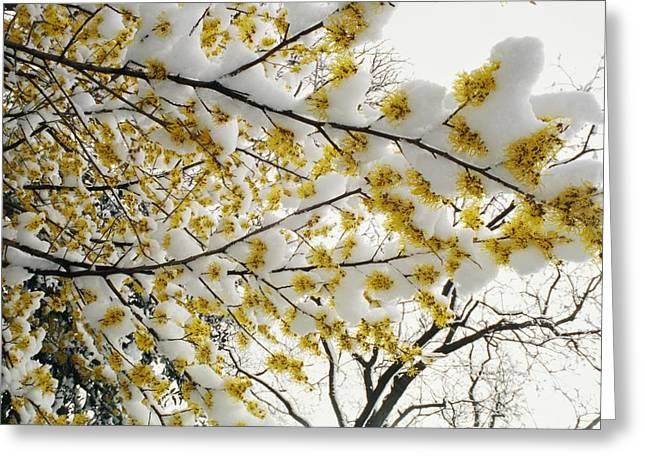 Fluffy Snow Clings To The Yellow Greeting Card by Stephen St. John