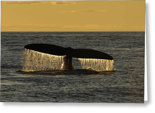 Flukes Of A North Atlantic Right Whale Greeting Card by Brian J. Skerry
