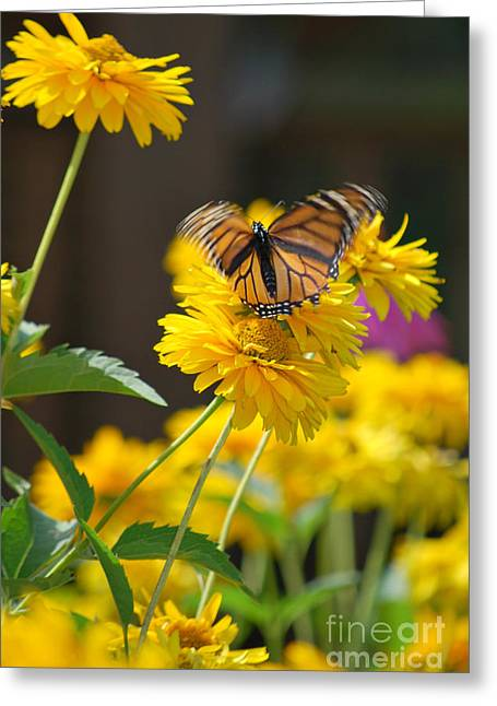 Fluttering Monarch Butterfly Greeting Card by Lila Fisher-Wenzel