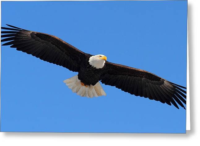 Flying Bald Eagle Greeting Card