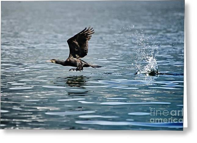 Flying Cormorant Bird Greeting Card by Mats Silvan