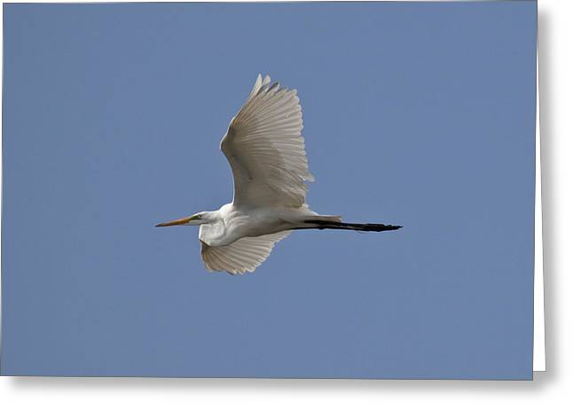 Flying Egret Greeting Card by Jeannette Hunt