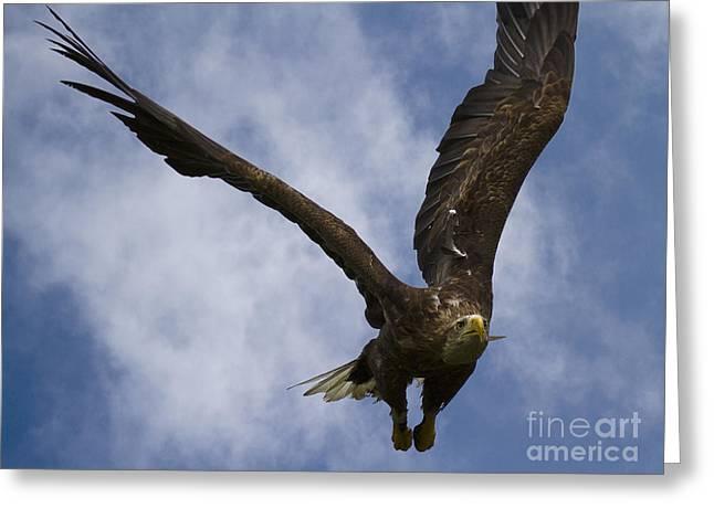 Flying European Sea Eagle I Greeting Card by Heiko Koehrer-Wagner