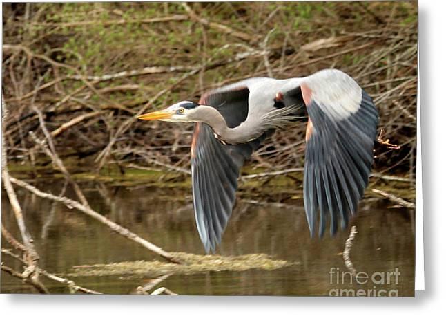 Flying Great Blue Heron Greeting Card