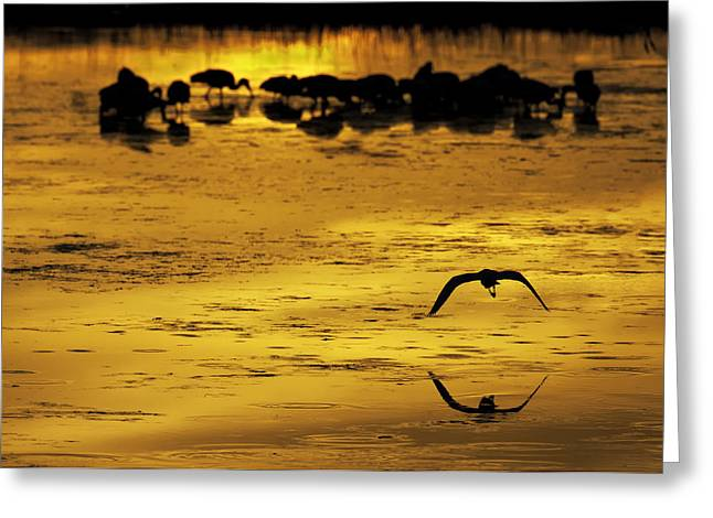 Flying Home - Florida Wetlands Wading Birds Scene Greeting Card by Rob Travis