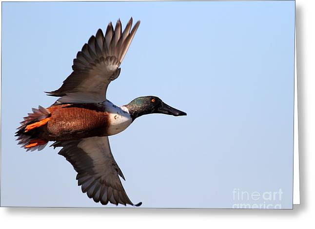 Flying Northern Shoveler Duck . 7d8654 Greeting Card by Wingsdomain Art and Photography