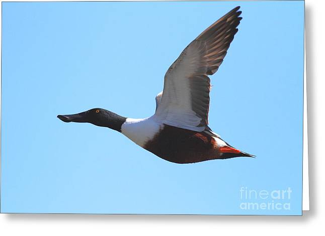 Flying Northern Shoveler Duck . 7d8729 Greeting Card by Wingsdomain Art and Photography