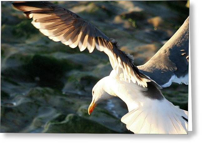 Greeting Card featuring the photograph Flying Seagull by Michael Rock