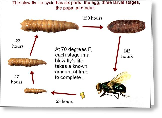 Forensic Helper, Life Cycle Of Blow Fly Greeting Card