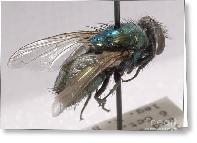 Forensic Helpers, Green Blow Fly Greeting Card