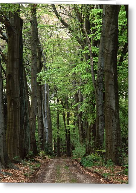 Forest Lane Greeting Card
