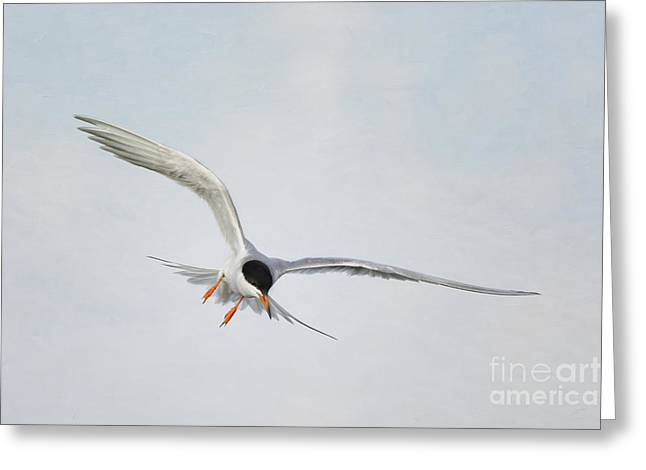Forster's Tern Upon Cirrus Skies Greeting Card
