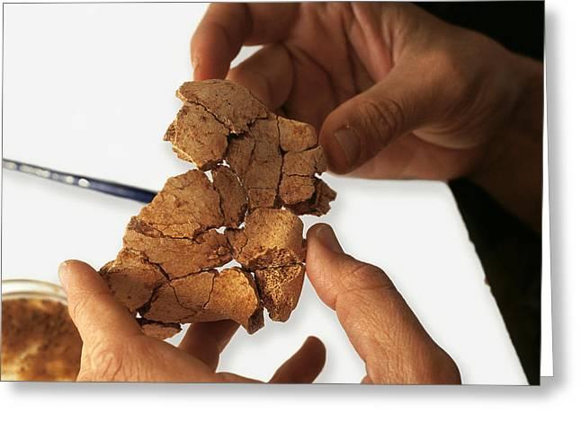 Fossilised Frontal Bone, Gran Dolina Greeting Card by Javier Truebamsf
