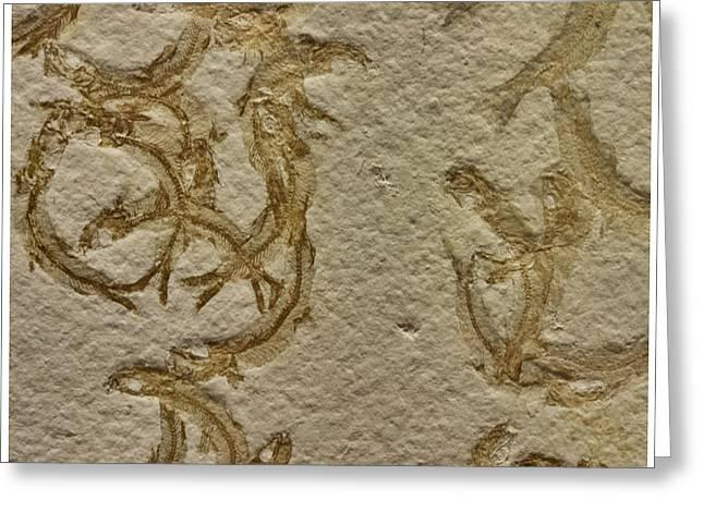 Fossils - Leptolepides Sprattiformis Greeting Card