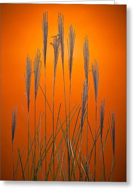 Fountain Grass In Orange Greeting Card by Steve Gadomski