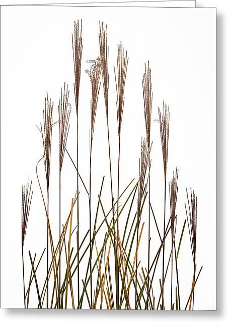 Fountain Grass In White Greeting Card by Steve Gadomski