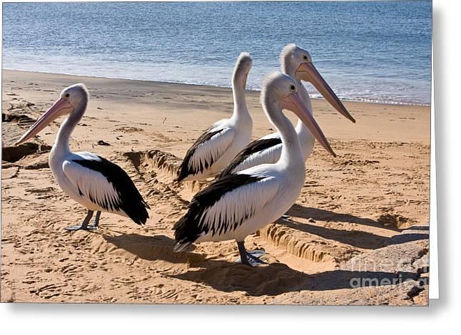 Four  Australian Pelicans On A Beach Greeting Card by John Buxton