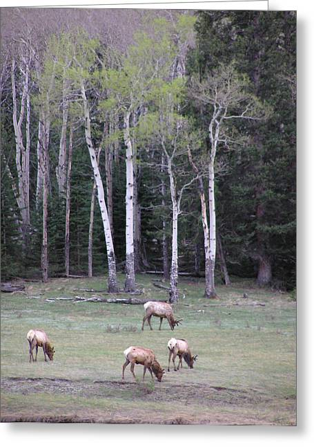 Four Elk   Four Aspen Greeting Card