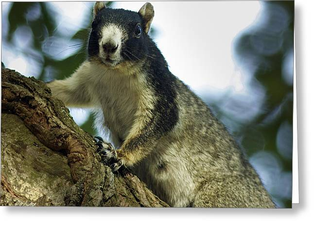Fox Squirrel Greeting Card by Phill Doherty