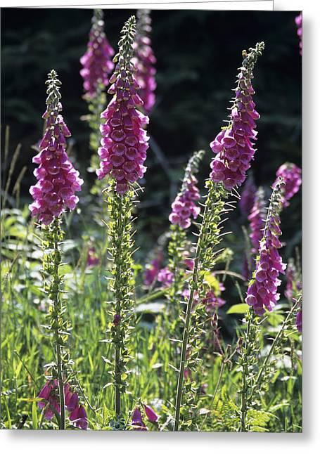 Foxglove (digitalis Pupurea) Flowers Greeting Card