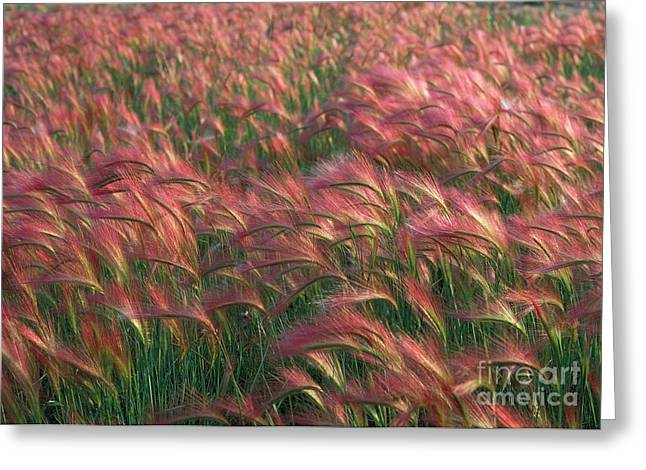 Greeting Card featuring the photograph Foxtail Barley by Doug Herr