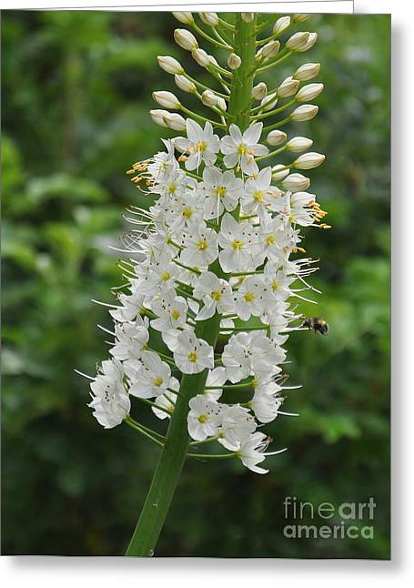 Foxtail Lily Greeting Card