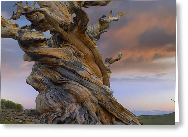Foxtail Pine Tree Twisted Trunk Of An Greeting Card by Tim Fitzharris