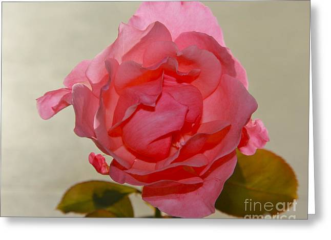 Fragile Pink Rose Greeting Card by Joan McArthur
