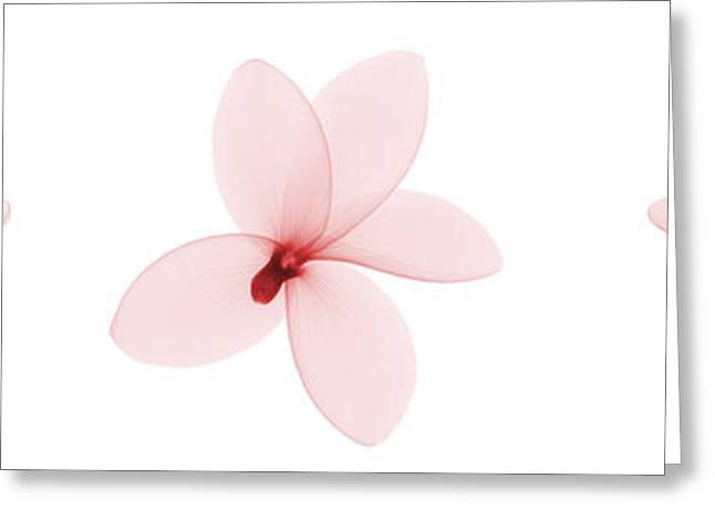 Fragipani Plumeria Flowers, X-ray Greeting Card by Ted Kinsman