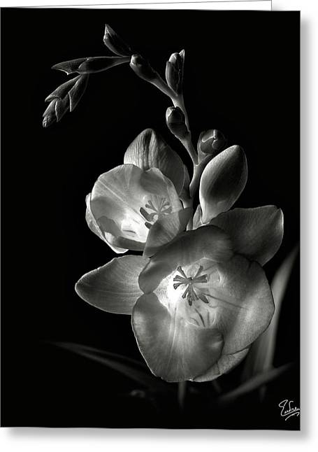 Freesia In Black And White Greeting Card