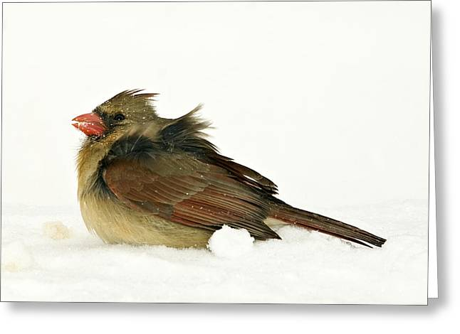 Freezing Cardinal Greeting Card by Trudy Wilkerson