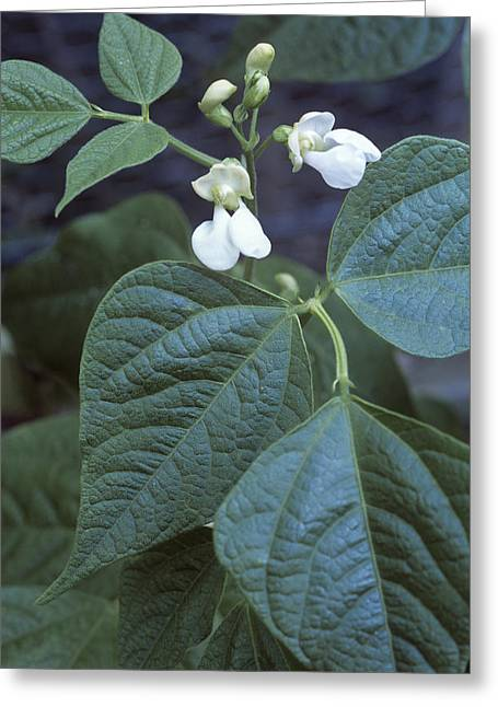 French Bean (phaseolus 'the Prince') Greeting Card